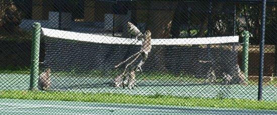 โรงแรมชายา วิลเลจ ฮาบารานา: The playful monkies on the tennis court