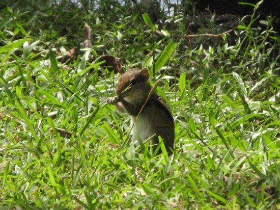 โรงแรมชายา วิลเลจ ฮาบารานา: A ground squirrel enjoying a snack