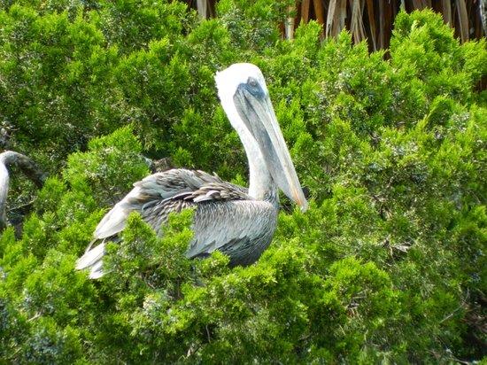 Cedar Key Paddling: Pelican