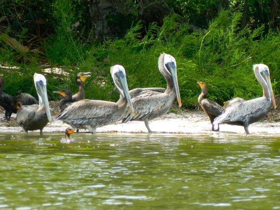 Cedar Key Paddling: Bird gagle at Seahorse Key.