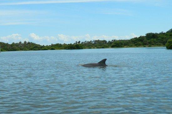 Cedar Key Paddling: Meandering dolphin