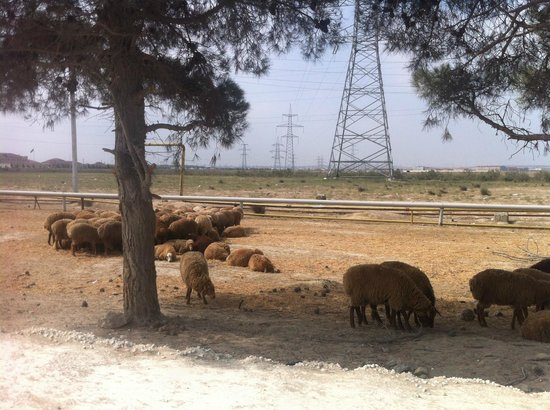 Sheeps beside the road to Yanar dag