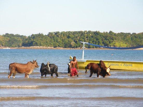 Chanty Beach Hotel : Einmal in der Woche kommen die Einheimischen an den Strand und waschen ihre Zebus