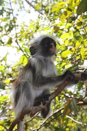 Jozani Forest Reserve : Singe à dos rouge