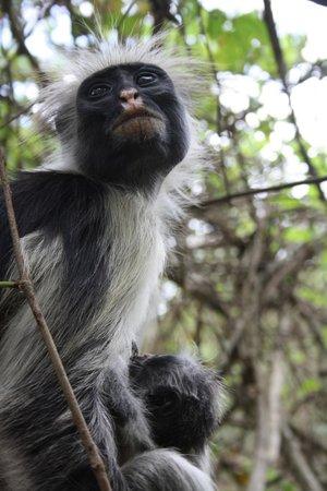 Jozani Forest Reserve : Bebe singe