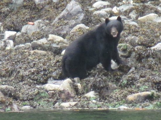 Kingfisher Wilderness Adventures - Orca Waters Kayak Day Trips: Balck bear, scavenging for scrabs on the beach