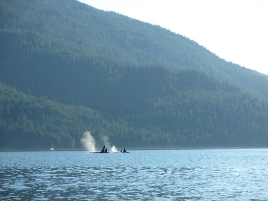 Kingfisher Wilderness Adventures - Orca Waters Kayak Day Trips: Orcas
