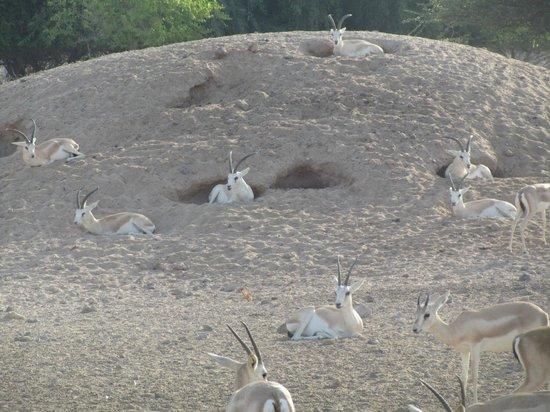 Anantara Desert Islands Resort & Spa: Regional Animals Seen on Safari Ride.