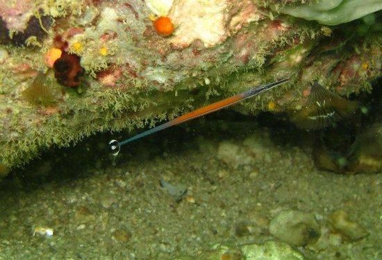 Pulau Sembilan: Janns Pipe Fish