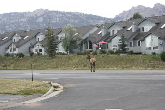 Comfort Inn Estes Park: elk in the road