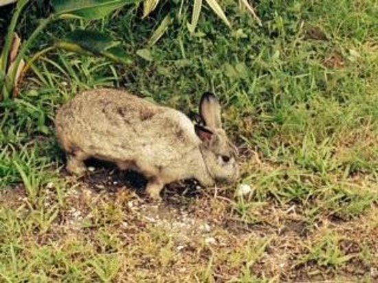 Five Palms Condominium Resort: Resident Rabbit
