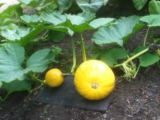 Hare Hill Park and Gardens.: Pumpkin.