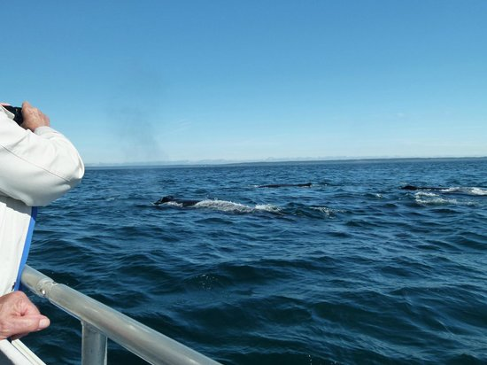 Petit Pasage Whale Watch : Group of five Humpbacks feeding near the boat