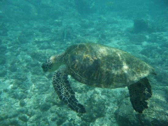 Honaunau Bay: one of the local turtles
