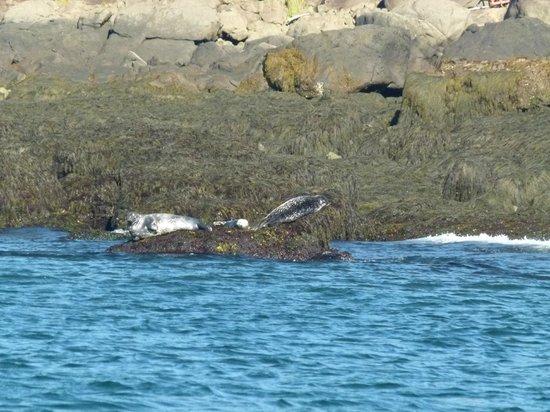 Petit Pasage Whale Watch : Harbor seals