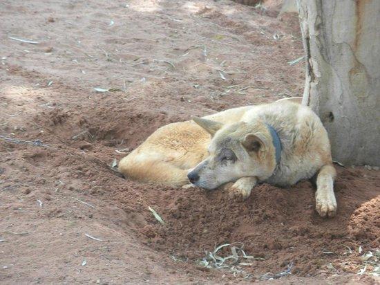 Camels Australia  a dingo