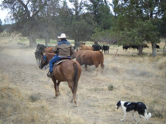 Long Hollow Guest Ranch : Driving the herd