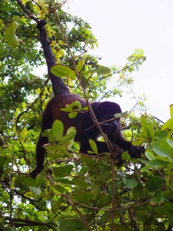 Matilda's: Howler Monkeys