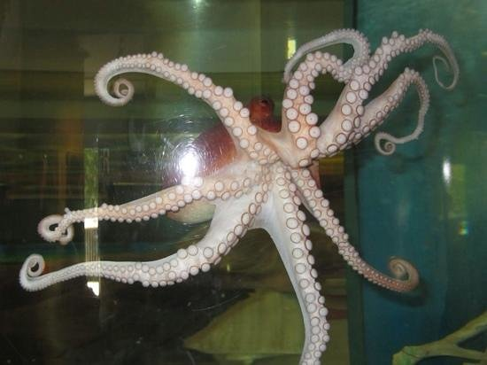 The Wetlands Institute: resident octopus