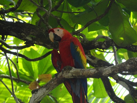 Copa de Arbol Beach and Rainforest Resort : Scarlet macaw - taken a few yards from our cabana