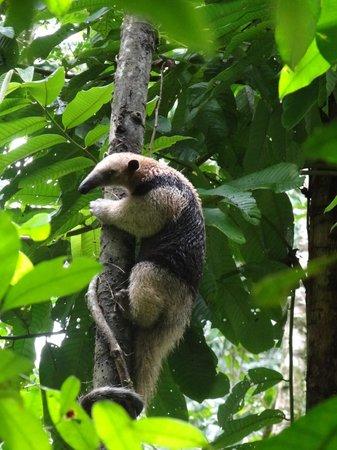 Copa de Arbol Beach and Rainforest Resort : Anteater - taken in Corcovado National Park