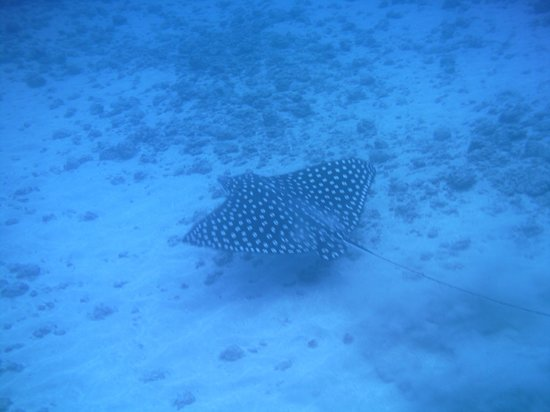 Copa de Arbol Beach and Rainforest Resort: Spotted stingray - Cano Island snorkeling