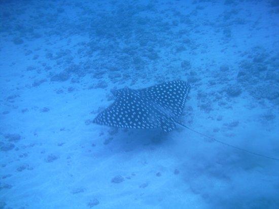 Copa de Arbol Beach and Rainforest Resort : Spotted stingray - Cano Island snorkeling