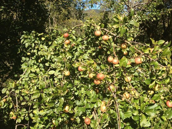 Wyndham at Bentley Brook: Apple tree on grounds