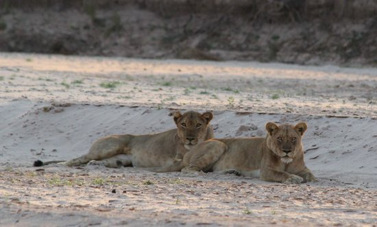 Nsolo Bush Camp - Norman Carr Safaris: Lions resting on the river bed