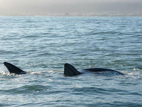 Hermanus Whale Cruises: Balene