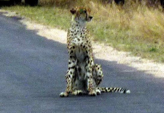 Baobab Ridge: Cheetah waiting for its mate