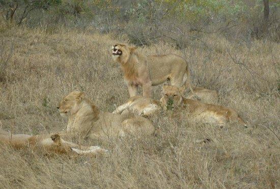Baobab Ridge : A pride of sleepy lions