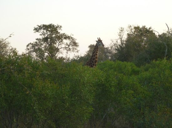 Baobab Ridge: An extremely tall giraffe
