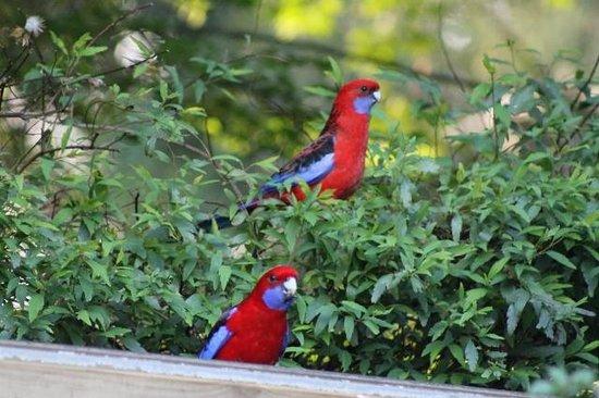 Tomah Mountain Lodge: Crimson Rosella's