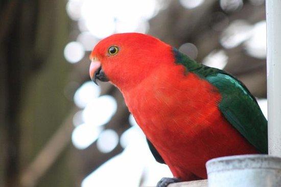 Tomah Mountain Lodge: King Parrot
