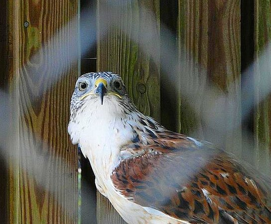 Carolina Raptor Center: swainsons hawk