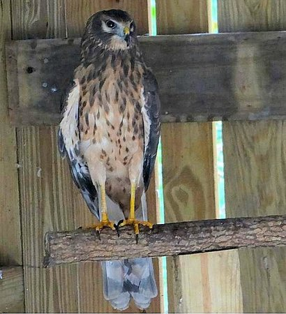 Carolina Raptor Center: northern harrier