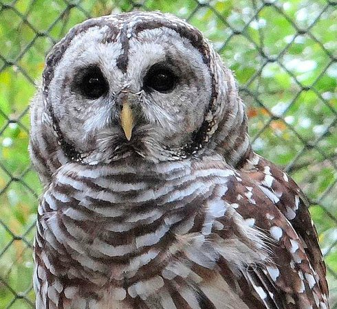 Carolina Raptor Center: barred owl