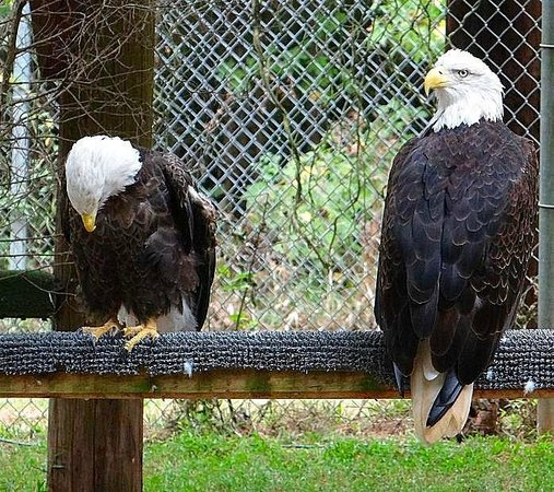 Carolina Raptor Center: bald eagle