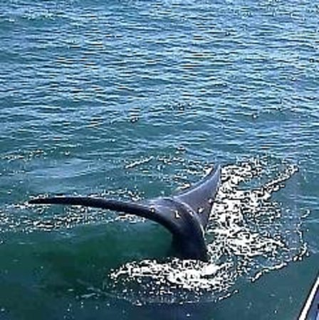 Ivanhoe Sea Safaris: one of several whales who visited our boat