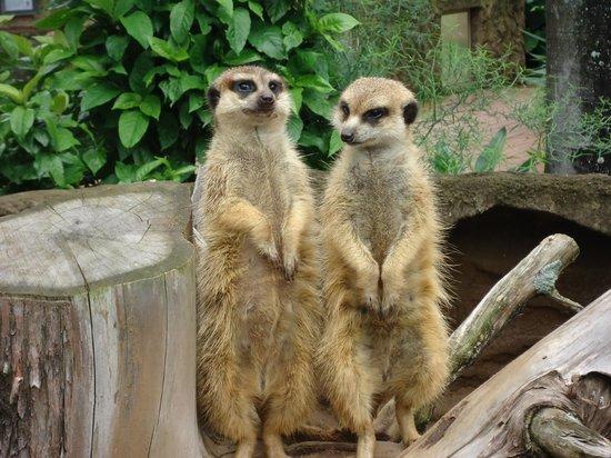 Mitchell Park: Meerkats - always a great attraction