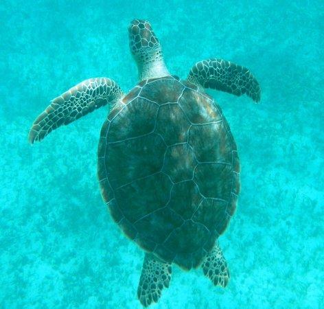 Simpson Körfezi, St-Martin / St Maarten: Turtles!!!