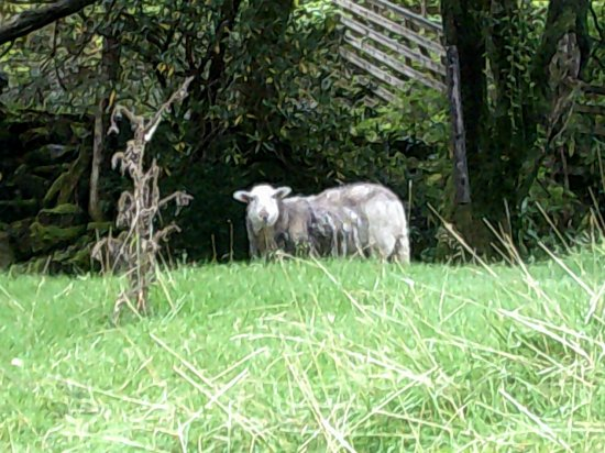 YHA Snowdon Bryn Gwynant: One of the 'lawn mowers' at Bryn Gwynant