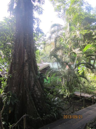 Hotel Yare : 300+ year-old tree outside Bungalow 3