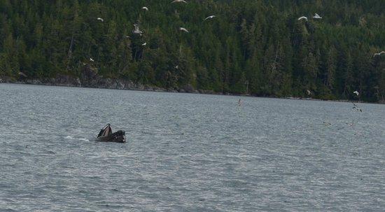 Stubbs Island Whale Watching: Yum yum yum, these fish are tasty!!