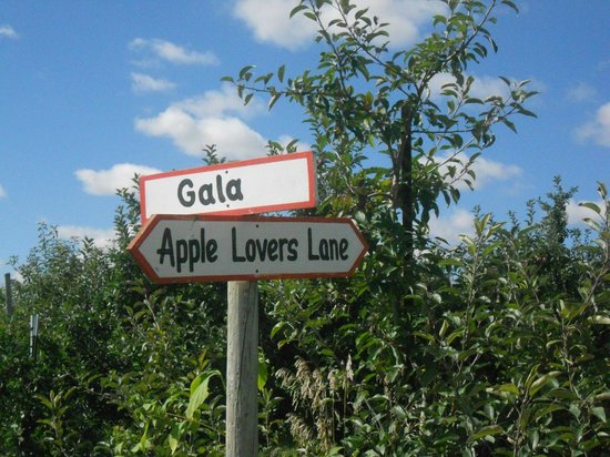 Apple Holler: Gala apples in the orchard
