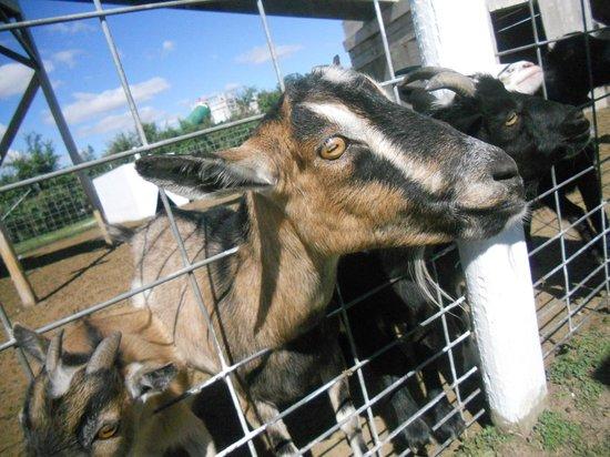 Apple Holler: Friendly goats