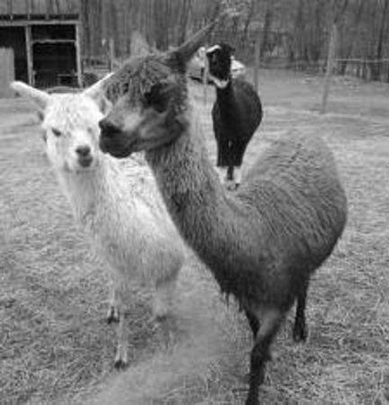 Alpaca in the Moon Farm : Ladies on the move at Alpca in the Moon Farm