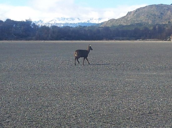 Lago Grey Hosteria and Navegacion: Huemul protegido,  a pasos del Hotel