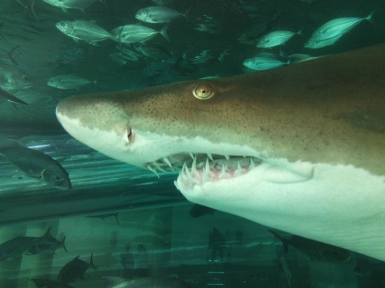 Golden Nugget Hotel: Close up of shark in shark tank swimming pool
